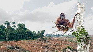 Deforestation in Indonesia, and a homeless Orangutan (Source: The Huffington Post)